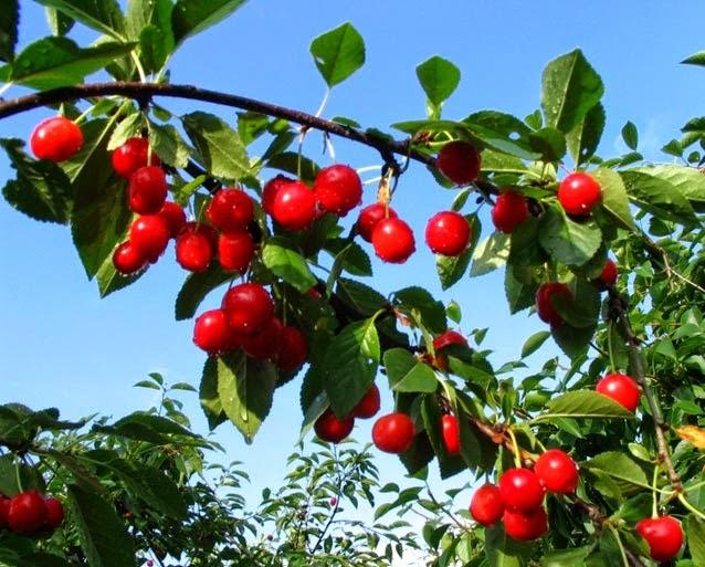 El fruto sirve de alimento para los seres vivos y protege a las semillas