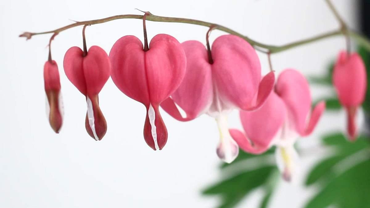 ▷▷Conoce Todo Sobre Cómo Cultivar La Planta Corazón Sangrante