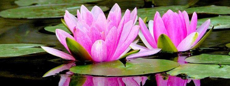 como cultivar una flor de loto