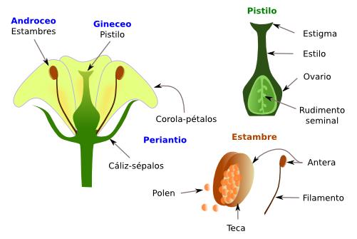 plantas fanerógamas