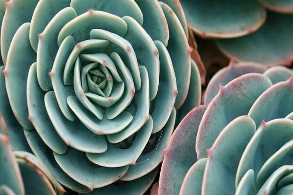Planta siempreviva rosa verde