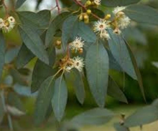 eucalipto árbol