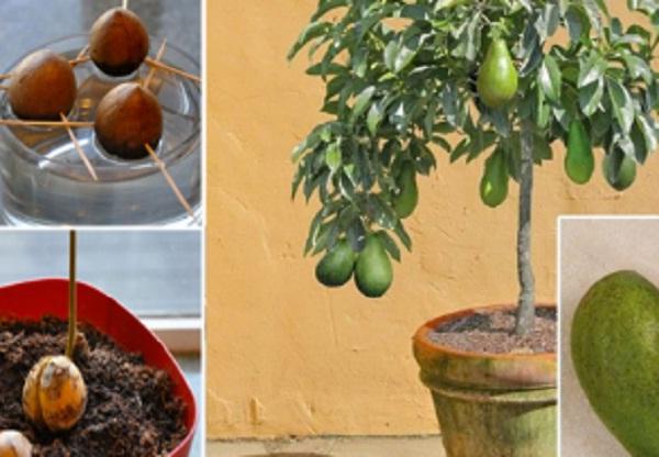 plantar un aguacate en casa