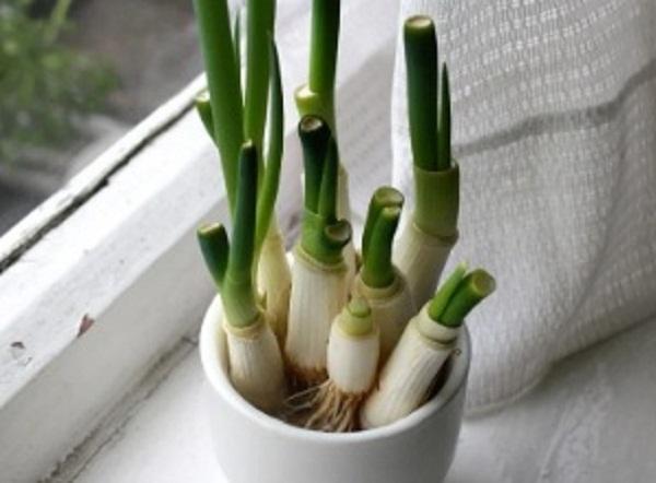 plantar cebollino en casa
