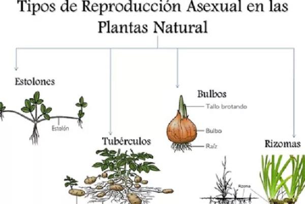 Los tipos de reproducción asexual