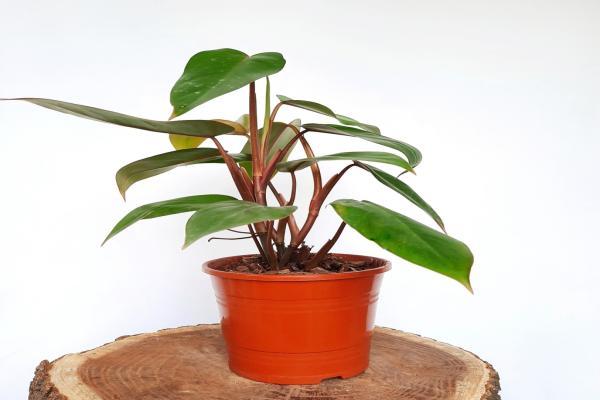 ¿Cómo se cuida la planta Philodendron?