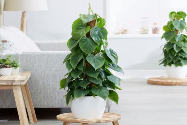 Planta philodendron