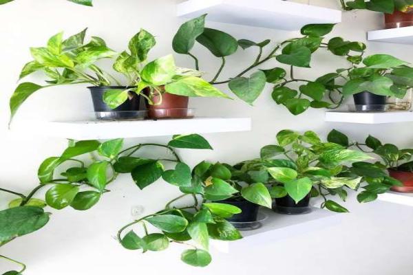 ¿Cómo reproducir Philodendron Bipinnatifidum?