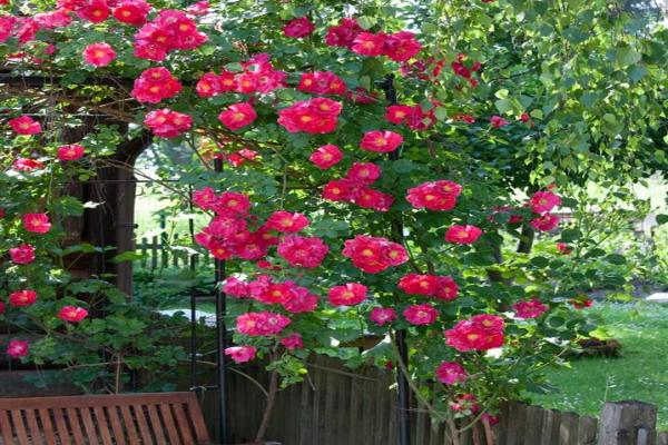 Rosa patio