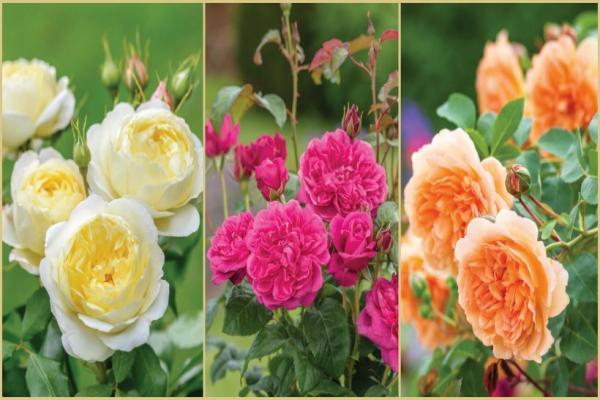 Rosa inglesa