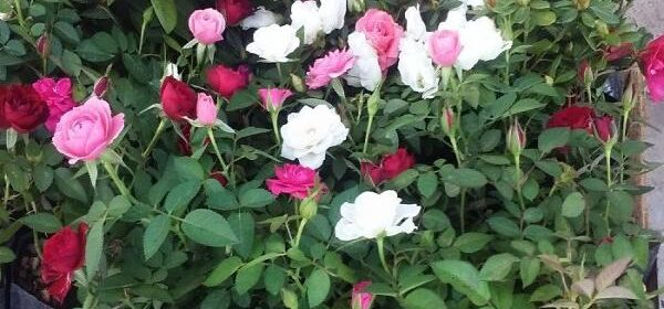 Rosa miniatura