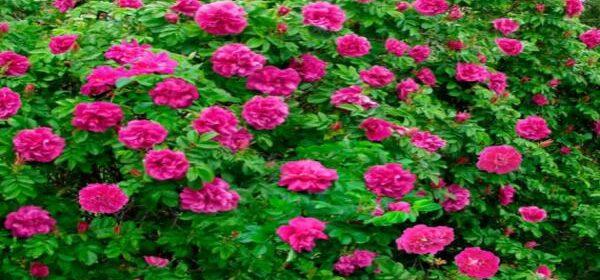 Rosa rugosa cuidados